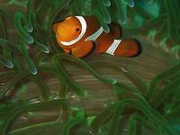 nderwater Western Clown fish or Anemone fish.