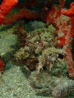 Closeup and macro shot of scorpionfish.