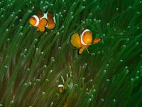 Closeup of Western Clown fish or Anemone fish.