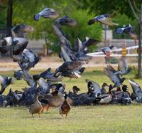 Flock of Pigeons and Ducks
