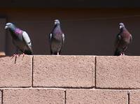 Pigeons on Block Wall