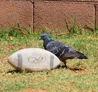 Pigeon By A Football