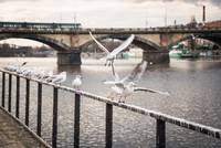 Seagulls near the Vltava river in Prague