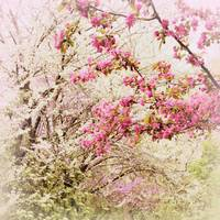 The Fleeting Nature of Blossoms