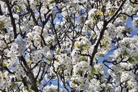 White Blossoming Tree in Sun