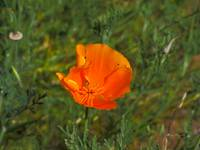 Golden Poppy_4300087