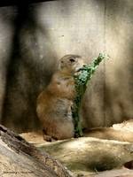 A Prairie Dog Eating Lunch