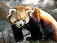 A Happy Red Panda