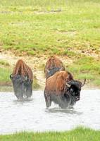 Bison cross river