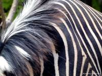 Zebra Stripes and Fur