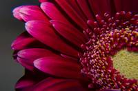 Deep red gerbera flower macro photo photography