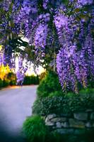 Wisteria at Sunset