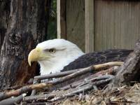 A Contemplative Bald Eagle