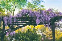 A Whiff of Wisteria