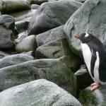 """""""Gentoo Penguin"""" by BobBerwyn"""