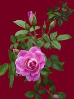 Deep Pink Rose and buds on Burnt Orange