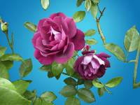 Magenta Rose on Blue