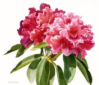 Red Rhododendron Blossoms