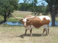 Longhorn in Sunlight