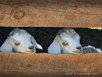 twin baby goats navajo nation