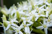 blooming little white flowers macro photo