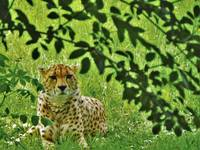 Cheetah laying in grass
