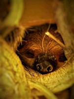 Sleeping Linne's Two-Toed Sloth