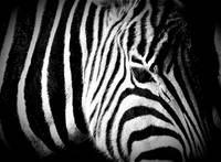 Black and White Portrait of Chapman's Zebra