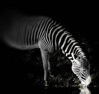 Zebra at Night