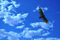 Hawk and Blue Sky
