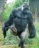 Male Gorilla Dancing