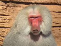Male Baboon Face 1