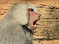 Male Baboon Yawn 1