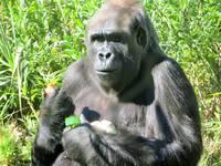 Female Gorilla Eating 1a