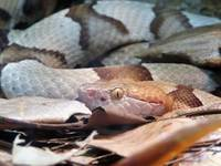 Copperhead Snake 1a