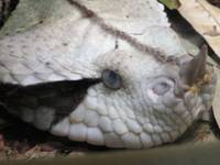 Gaboon Viper Close Up 1a