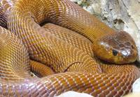 Red Spitting Cobra 1a