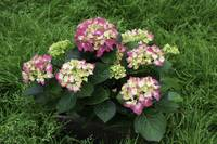 Decorative Floral Pink Hydrangeas C031619
