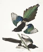 American Magpie, Plate 357