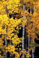 Lco001-6 Aspen Stand in Autumn I