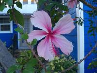 Pink hibiscus flower in front of a blue cottage