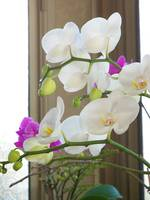 White and puple orchids