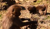 Two young Gelada baboons playing together