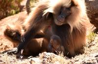Mother Gelada baboon looking over her baby