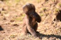 Baby Gelada baboon looking at the camera, Ethiopia