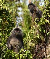 Two guarding monkeys in a tree in the jungle