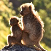 Two young Gelada baboons sitting on a rock, Ethiop