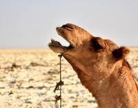 Face of camel on salt flats, Danakil Depression