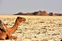 Camel on salt flats, Danakil Depression, Ethiopia