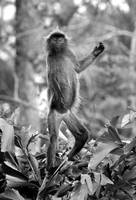 Black and white of monkey standing in jungle